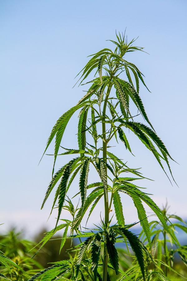 Gdzie kupimy najlepsze nasiona marihuany?